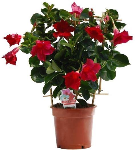 sundaville fiore dipladenia sundaville ricanti dipladenia sundaville