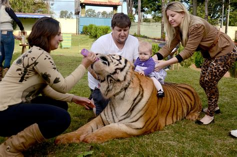 shocking family share home with 7 pet tigers