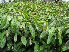 Bibit Ulin tempat berbagi hobi bonsai pohon bulian ulin kayu