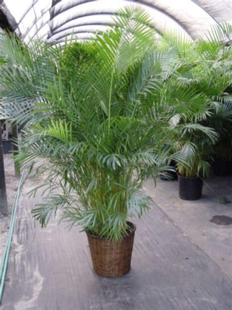 ideas  bamboo palm  pinterest plants