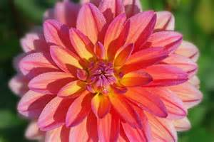 What Is A Dahlia Flower - dahlia flower meaning flower meaning