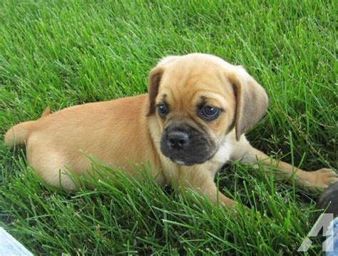puppies for sale jackson mi puggle puppies in southern michigan tri state area 8 wks for sale in jackson