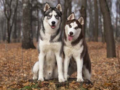 best house for siberian husky 28 images siberian husky