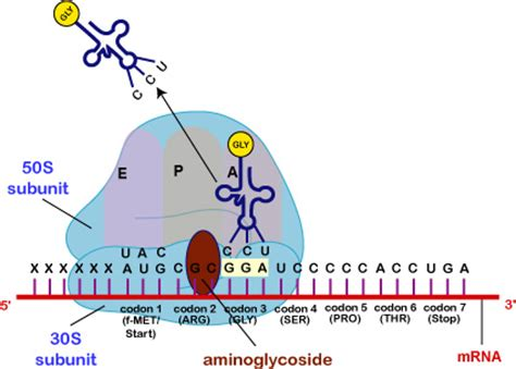 biol 230 lecture guide mode of action of aminoglycosides