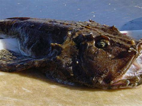 cucinare la carpa peixe sapo archives pesca na praia