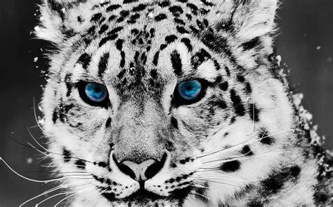 imagenes para fondo de pantalla leopardos ojos azules leopardos colorante selectivo fondo de