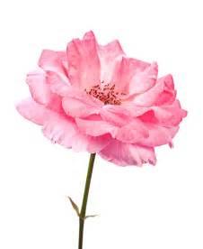 Fresh Rose Petals Rose Absolute Rosa Damascena