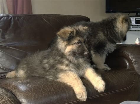 german shepherd puppies for sale in upstate ny haired german shepherd puppies for sale rachael edwards