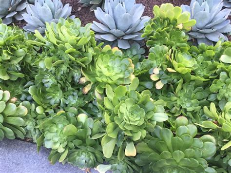succulent landscaping in downtown los angeles ohana nui off topic sub forum palmtalk