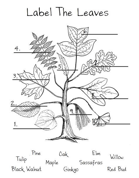 leaf identification coloring pages chickeemama leaf worksheet