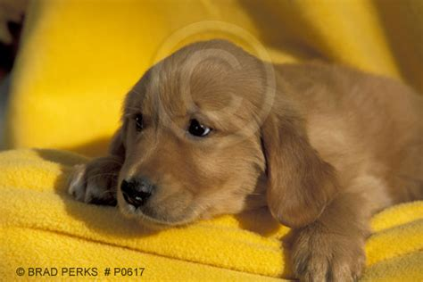 4 week golden retriever golden retriever puppy portrait at 4 weeks