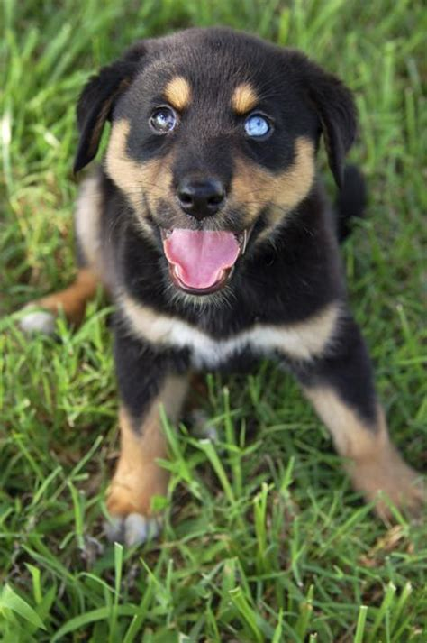 information about rottweiler rottweiler husky mix rottsky more breeds picture