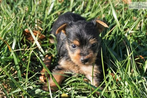 yorkies for sale in huntsville al baby yorkiepoo yorkie poo puppy for sale near huntsville decatur alabama