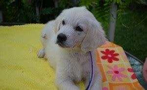 sarasota golden retriever puppies teacup shorkie puppies terrier shih zu sarasota fl asnclassifieds