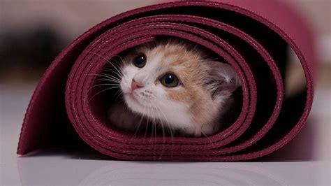 cat wallpaper rolls kitten in a roll wallpaper and background 1366x768 id