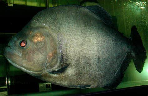 alimentazione piranha serrasalmus rhombeus passione acquari