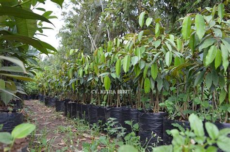 Bibit Durian Duri Hitam jual bibit durian duri hitam durian balck durian