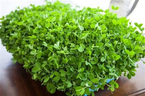 how to grow flax microgreens giveaway mercola grow microgreens and shoots kit steamy