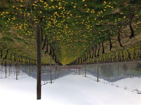 azienda agricola la fiorita la nostra vigna quot fiorita quot vini olivetta