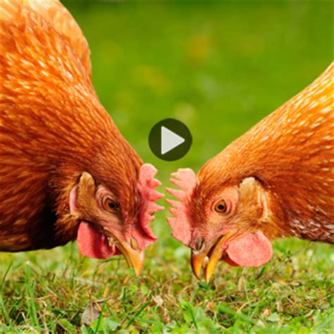 Benefits Of Backyard Chickens Video Homesteading And Benefits Of Backyard Chickens
