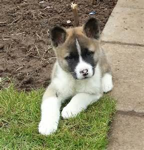 Puppies In American Akita Puppies For Sale Last Pup Glasgow