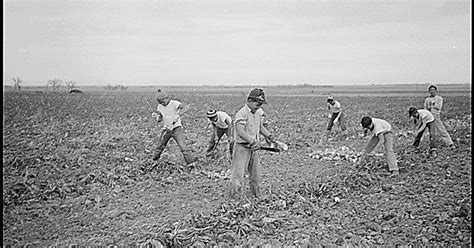 amache internment c internees farming sugar beets while relocated at the