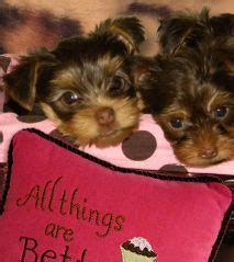 yorkie breeders in mississippi chocolate teacup yorkie pups born 7 28 2013 yorkies teacup yorkie