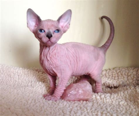 sphynx female kitten SEAL POINT AND WHITE PATCHED   Durham