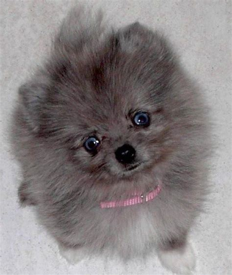 colors of pomeranians the 25 best pomeranian colors ideas on teacup