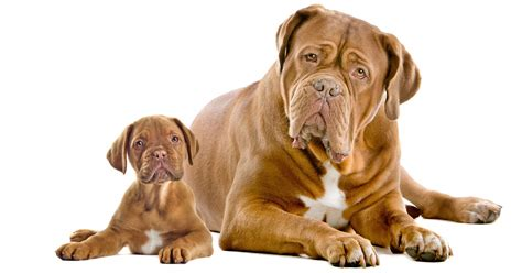 turner and hooch breed which breed the dogue de bordeaux