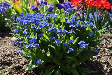 Garden Flower Plant Myosotis Sylyatica How Ornament My Eden Flower Garden Plants