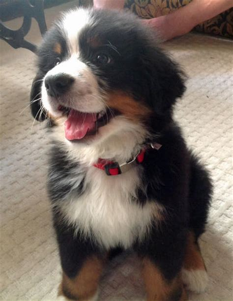 how much are bernese mountain puppies monk the bernese mountain puppies daily puppy
