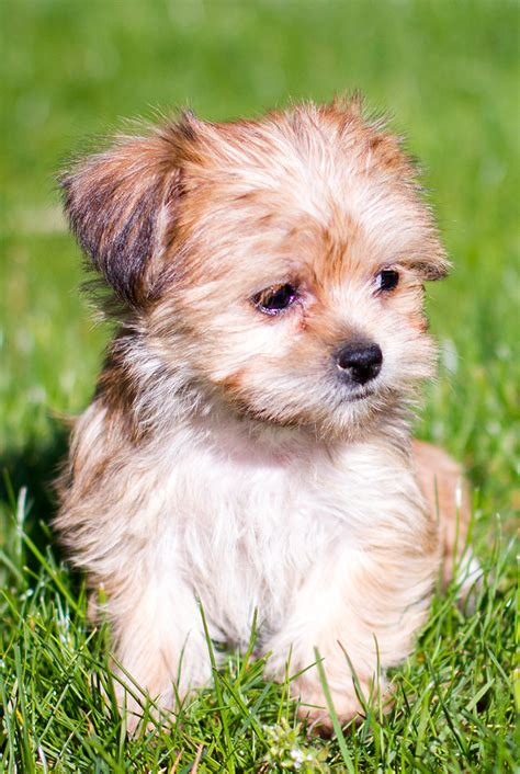 shih tzu yorkie mix puppies shih tzu yorkie mix puppies goldenacresdogs