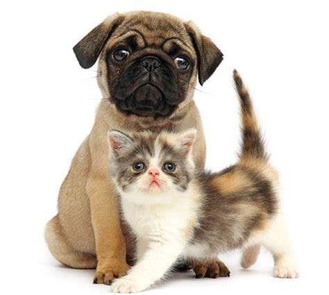 pugs and kittens pug puppy kitten pug
