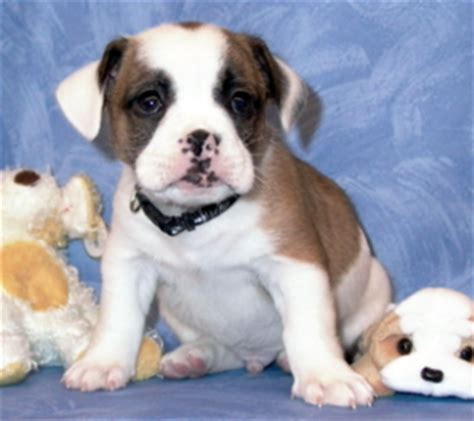 find out about the bulldog shih tzu mix dogable