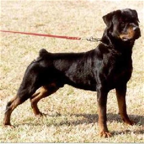 rottweiler germany german rottweiler puppies for sale rottweiler rottweiler breeds picture