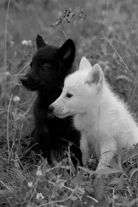 white wolf puppies children of the moon chapter 4 the basics of being a wolf a wolf puppys and so