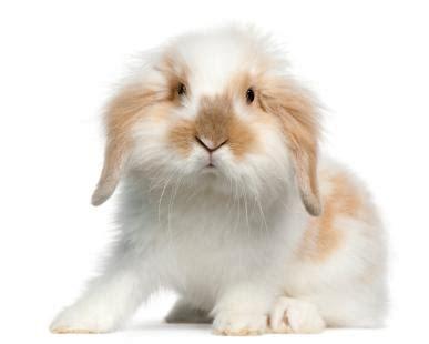 english lop rabbit | lovetoknow