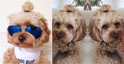 dog with man bun hipster dogs with man bun hairstyles is the latest pet