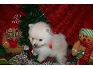 pomeranian breeders in oklahoma pomeranian puppies in oklahoma