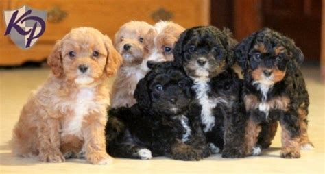 cavapoo puppies for sale in pa cavapoo puppies for sale in pa keystone puppies