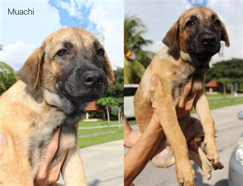 hachi breed mixed breed puppies for adoption 2 years 7 months muachi kimchi and hachi need home