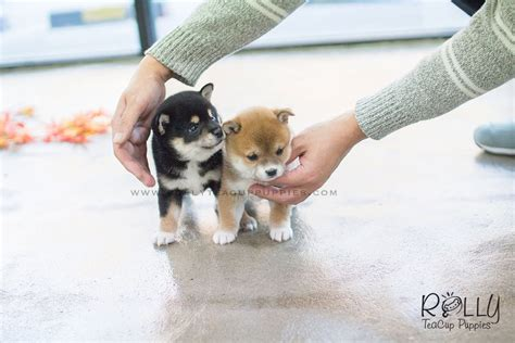 teacup shiba inu puppies for sale sold to rabil roy shiba inu m rolly teacup puppies