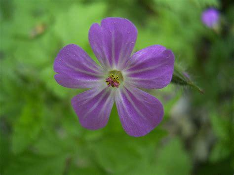 fiore zigomorfo actinomorfo la enciclopedia libre