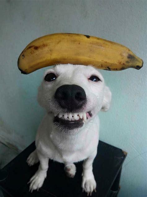 conheca  cachorro sorridente da tailandia euro shih