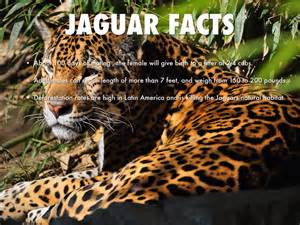 Jaguar Facts And Information Paraguay By Dykstre
