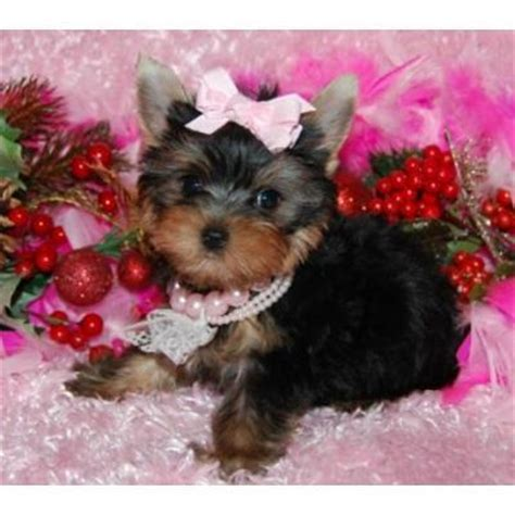 yorkie puppies in hawaii castres annonces annoncevous