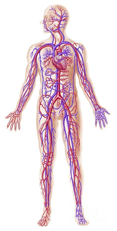 Home Decor Online Sales Anatomy Of Human Circulatory System Digital Art By