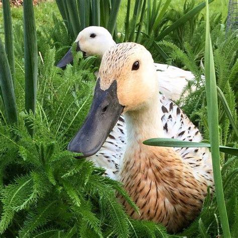 17 best ideas about duck 17 best ideas about duck coop on pinterest pet ducks