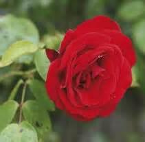 rosa mistica fiore l arte della fumigazione una guida alle resine e ai legni